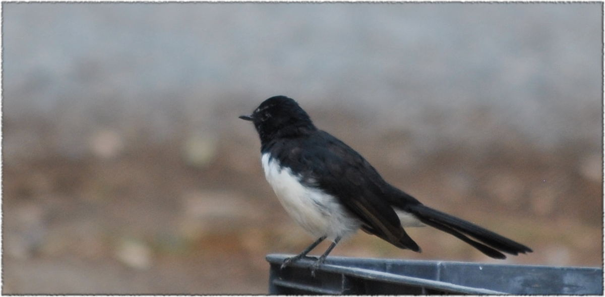 willywagtail
