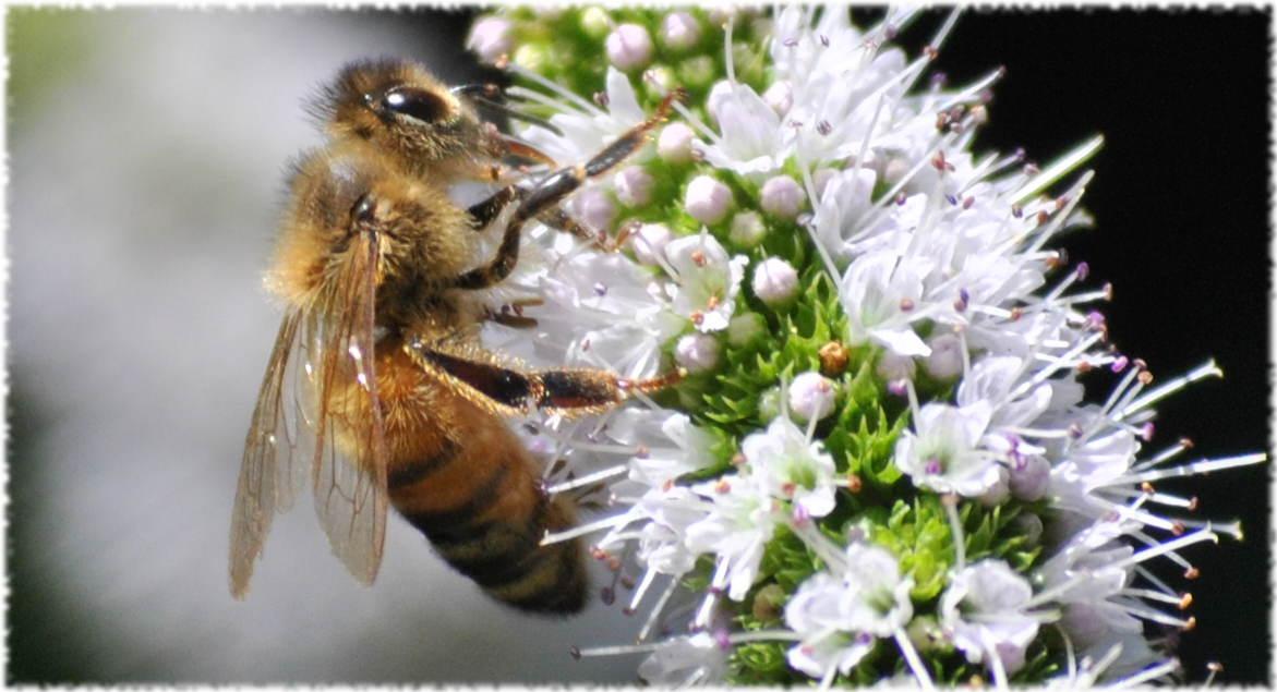 honeybee_mint