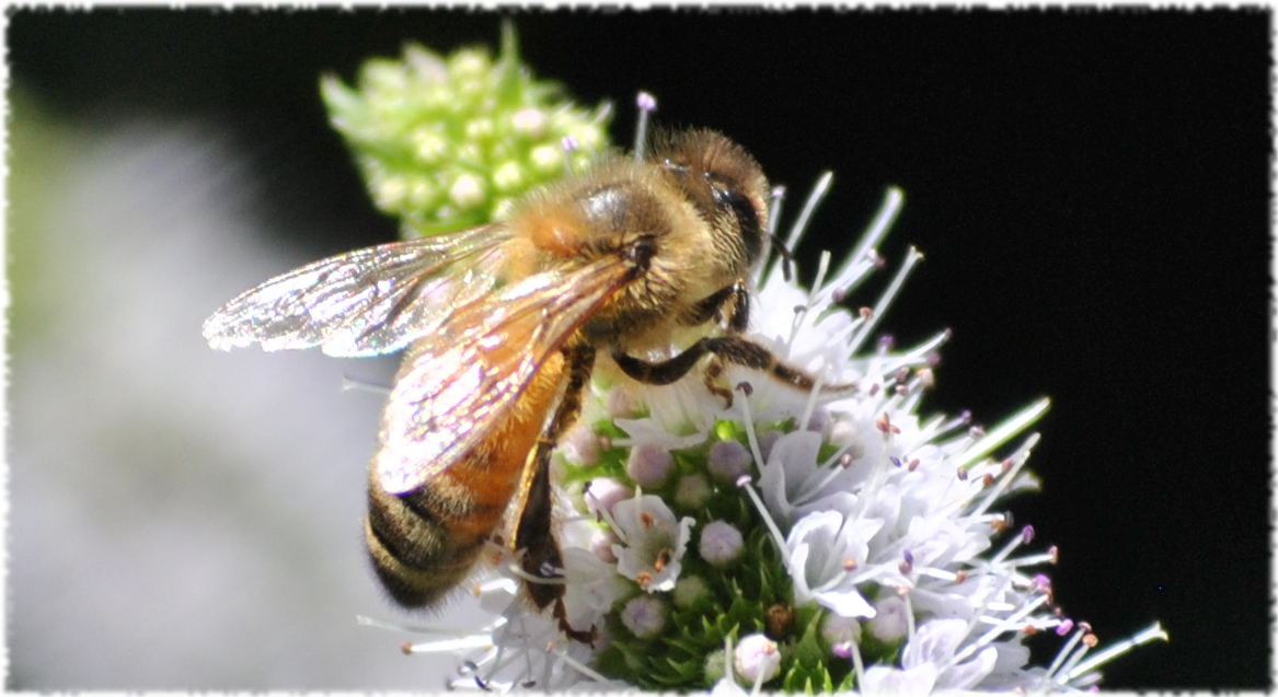 honeybee_mint2