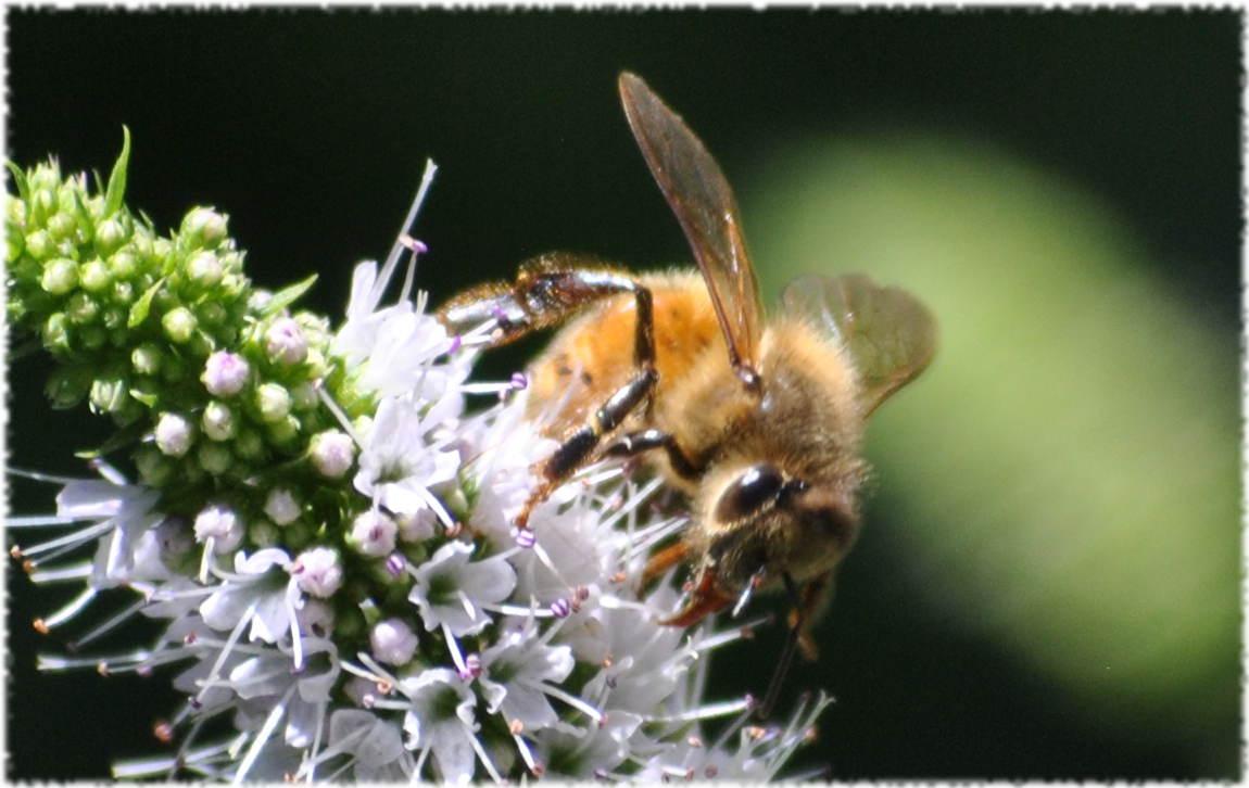 honeybee_mint3