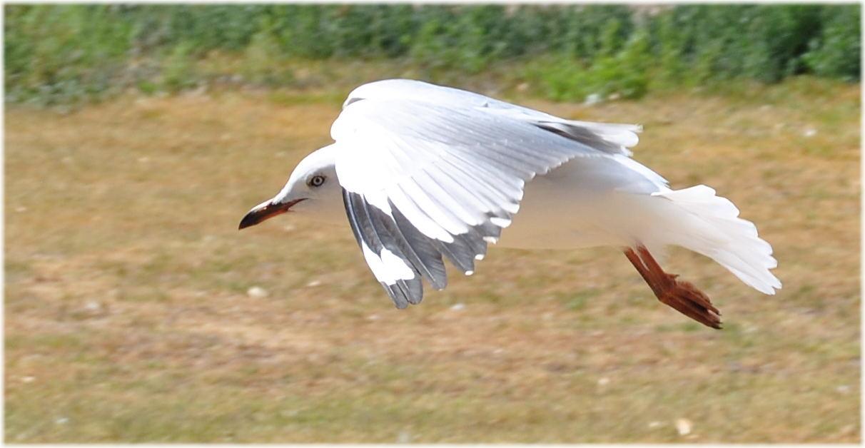 seagull_kingstonSE