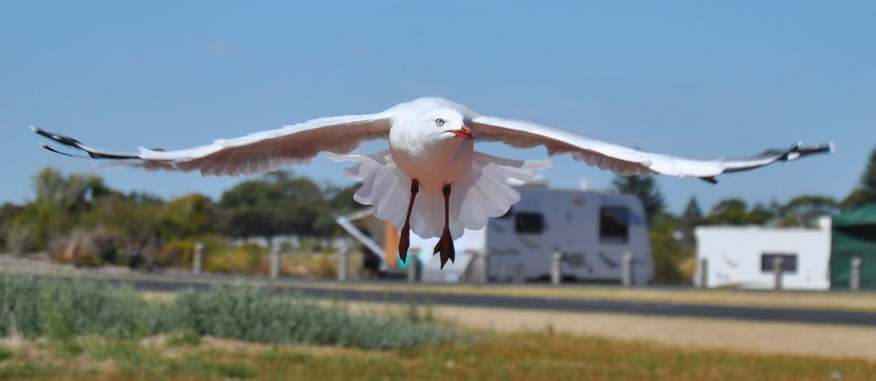 seagull_kingstonSE2