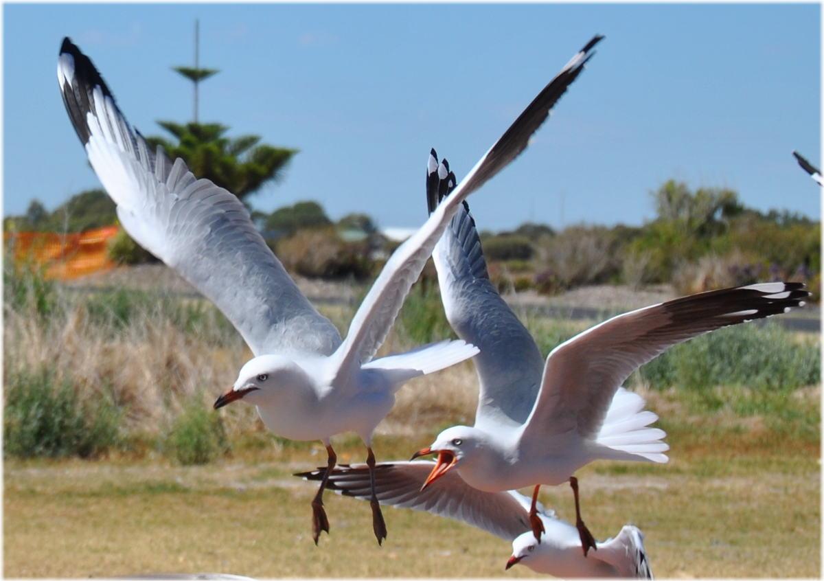 seagull_kingstonSE4