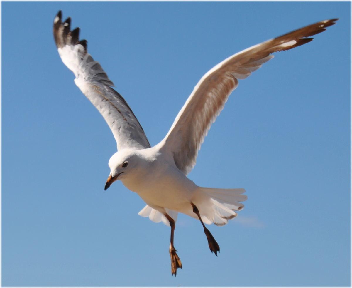 seagull_kingstonSE5