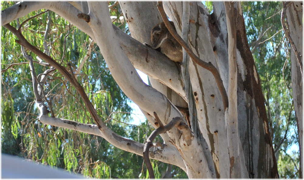 koala_carters_beach