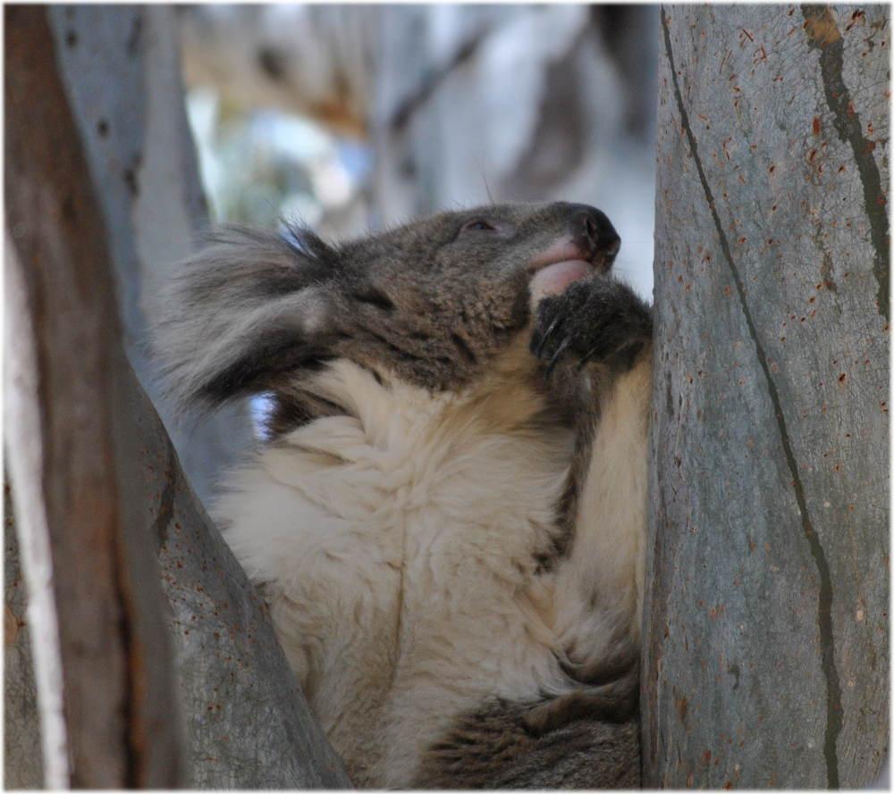 koala_carters_beach3
