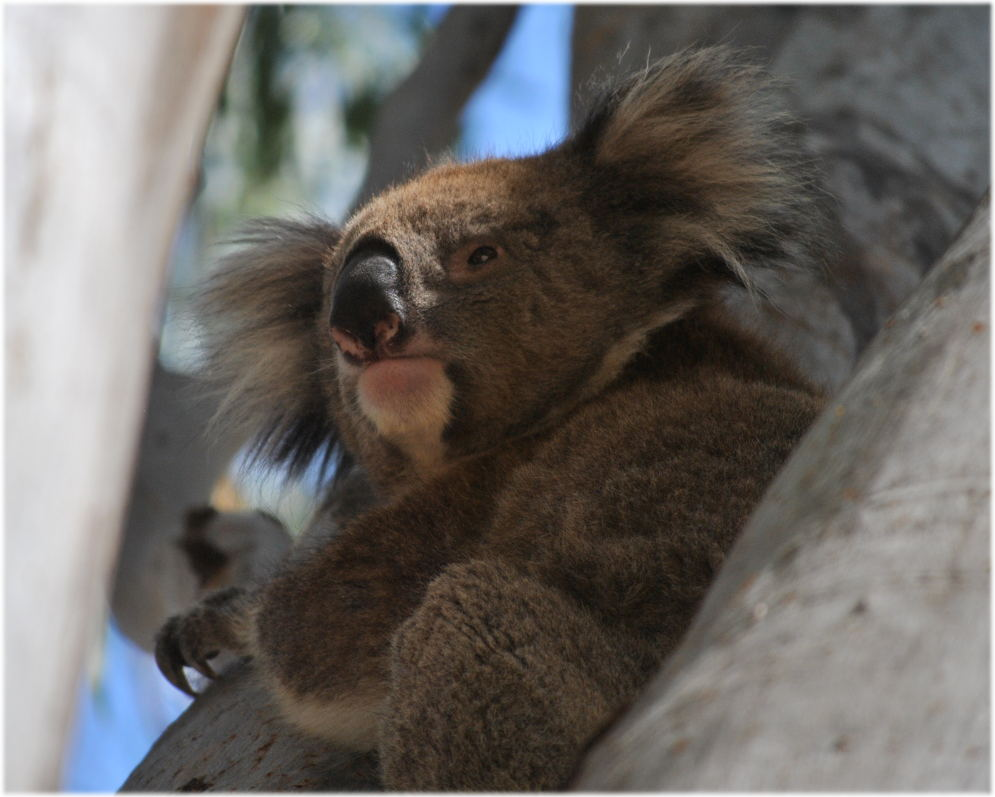 koala_carters_beach5