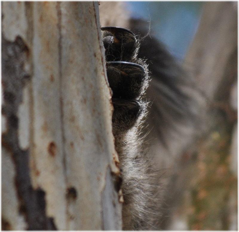 koala_claw