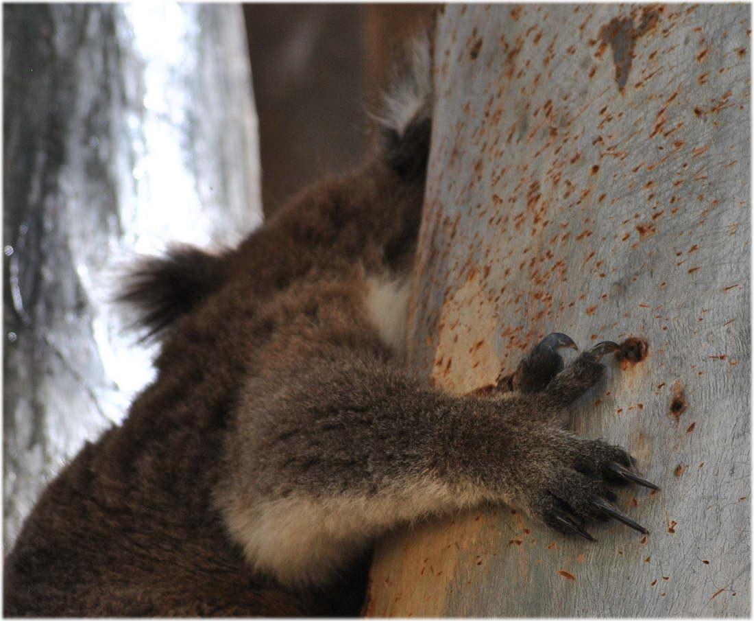 koala_claw4