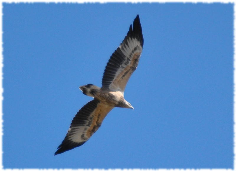 wedgetail_eagle.jpg