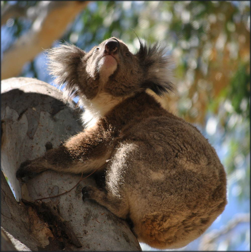 koala_carters_beach2