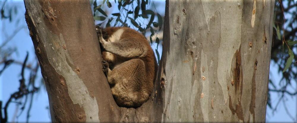 koalatree