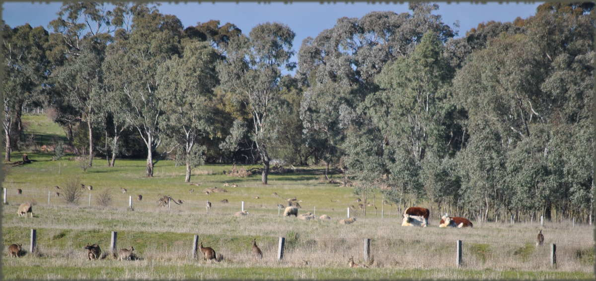 cows_kangaroos_sheep