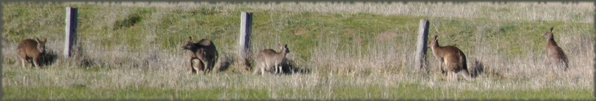 kangaroos_sheep