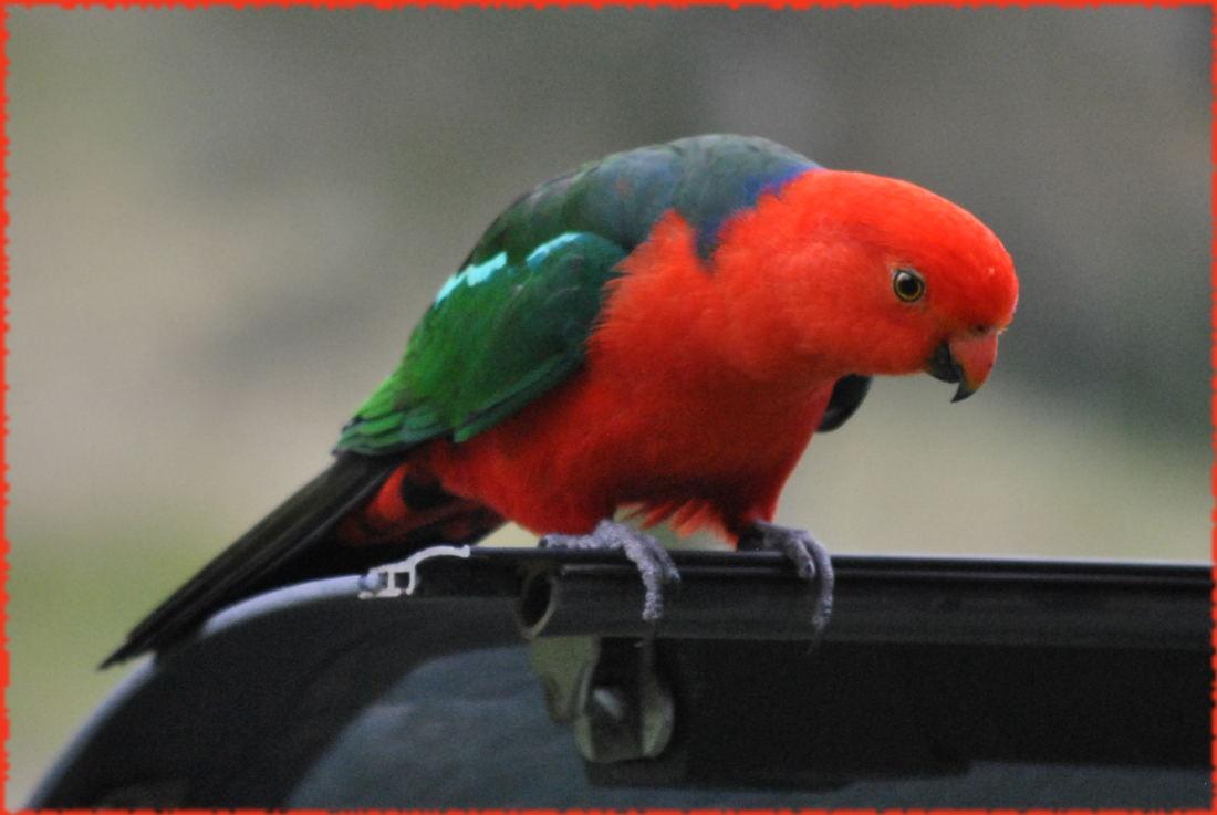king_parrot2