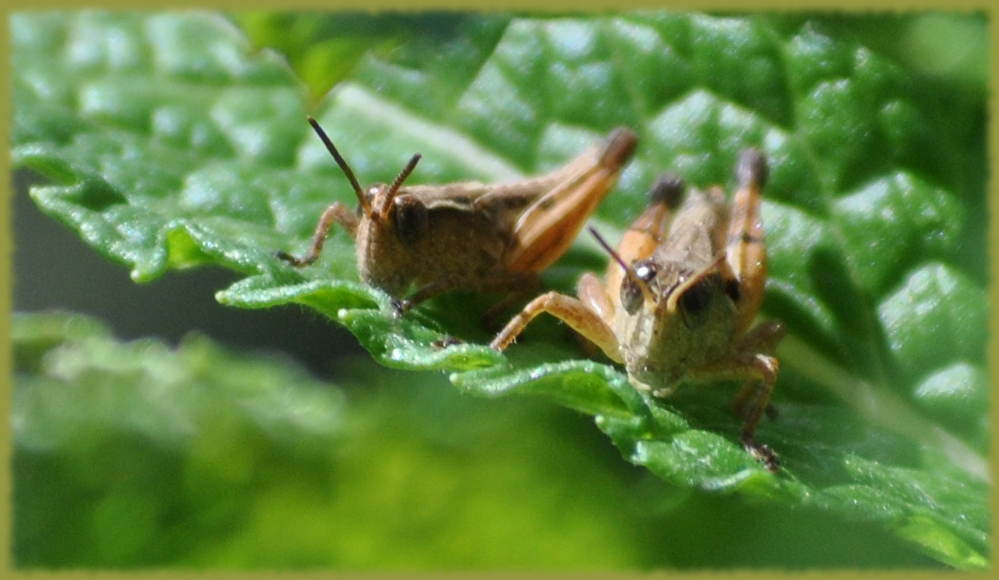 grasshoppers2
