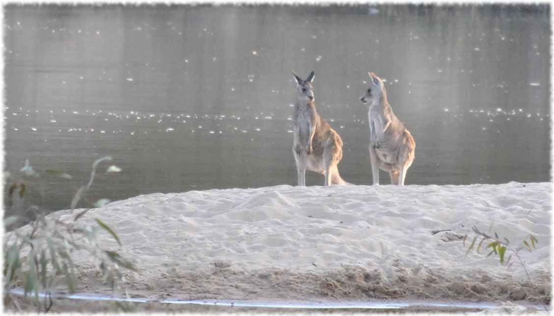 kangaroos_beach