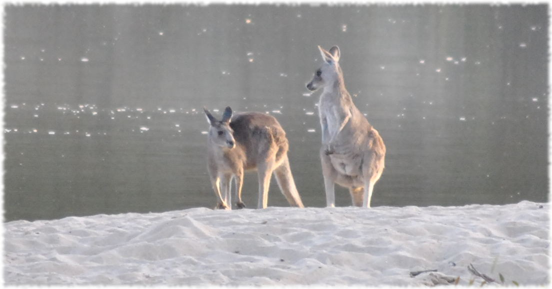 kangaroos_beach2