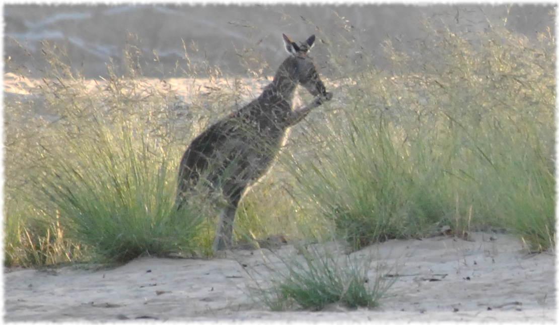 kangaroos_beach3