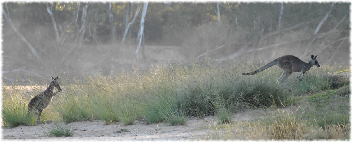 kangaroos_beach3a