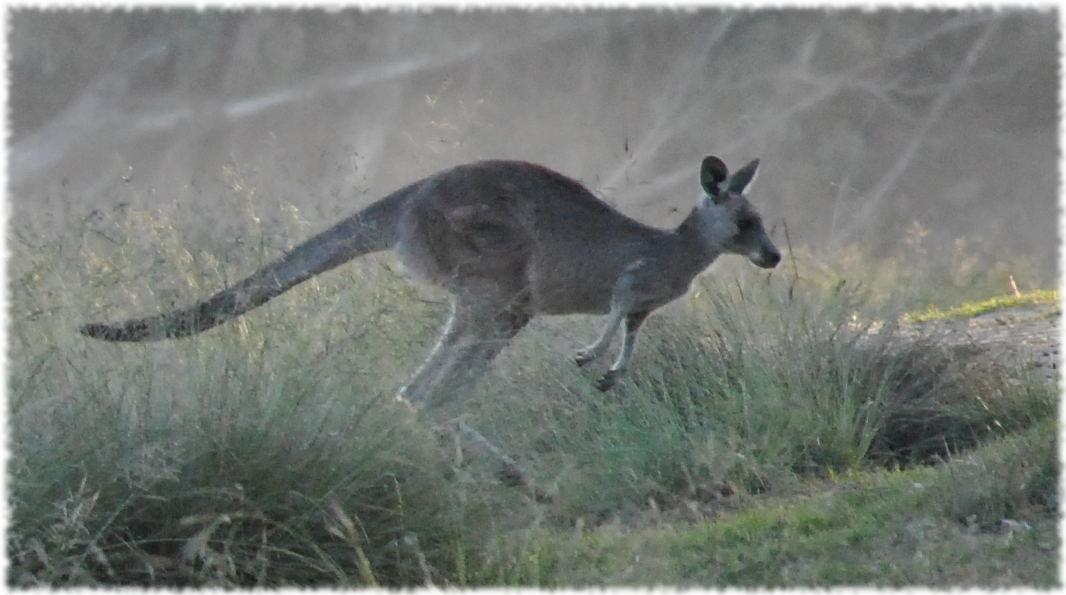 kangaroos_beach4