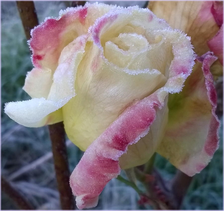frozen_flower