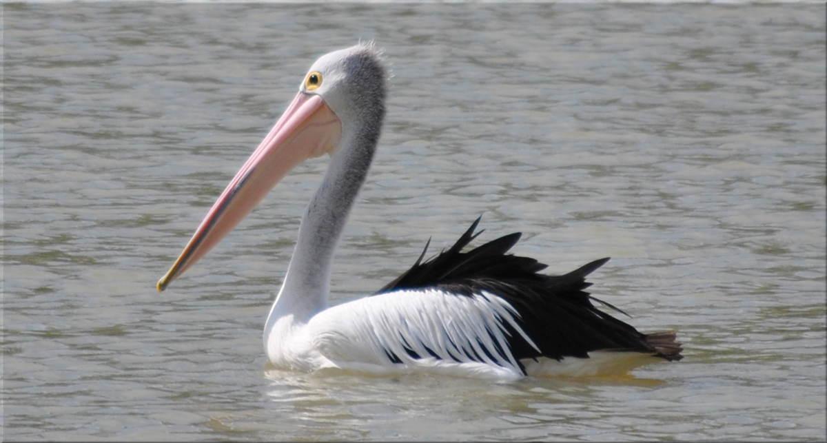 pelicanfright1