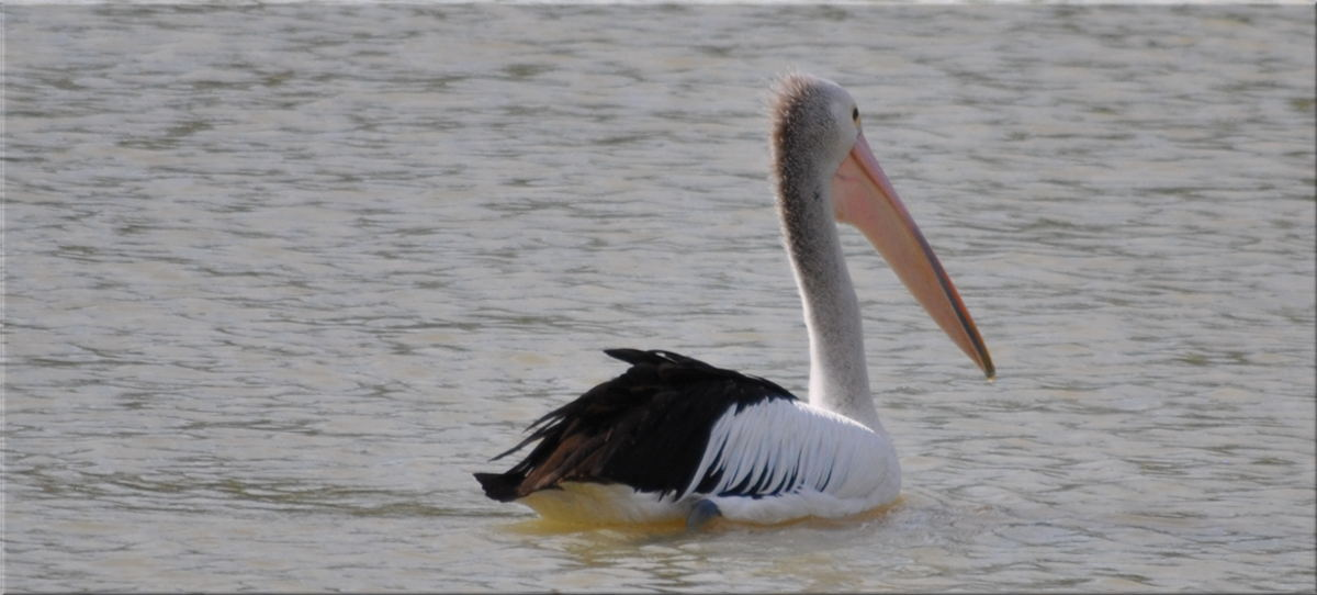 pelicanfright4