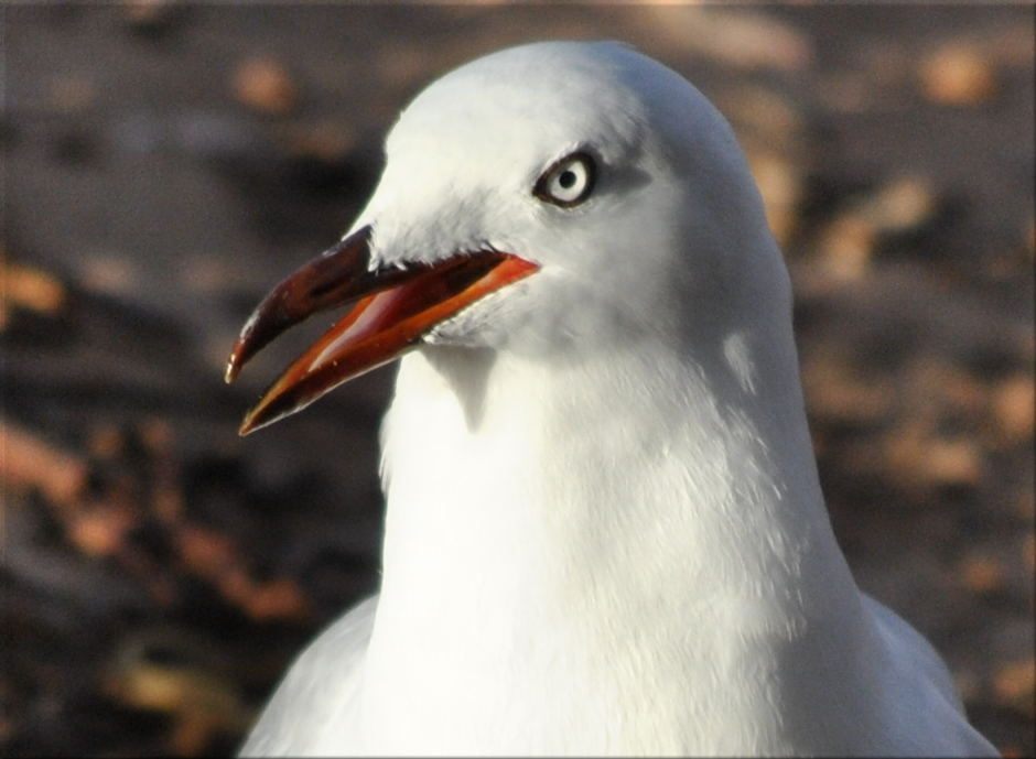 seagullcameo