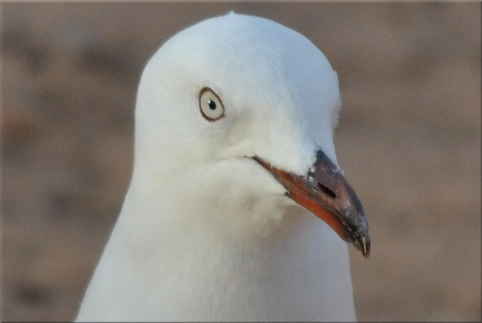 seagullcameo2