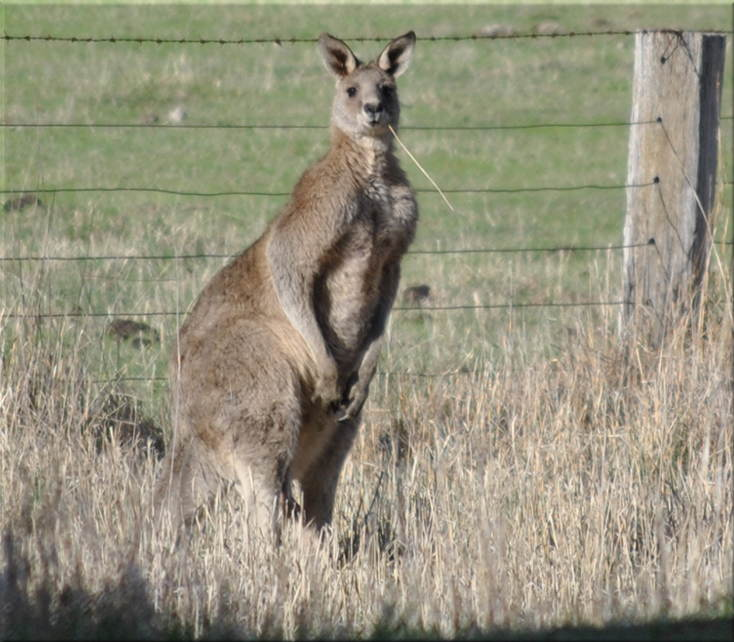 kangaroo_grass