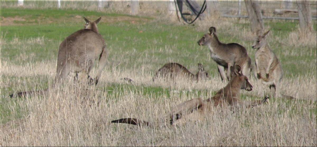 kangaroosjoeys