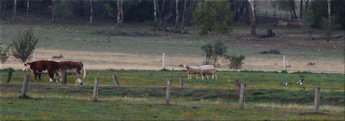 scenery_cows_k