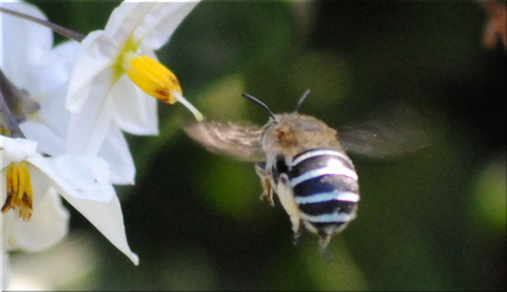 blue_banded_bee1