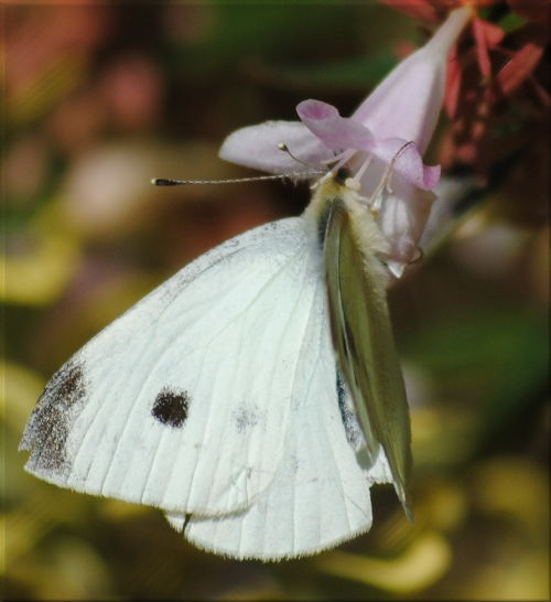 cabbage_moth