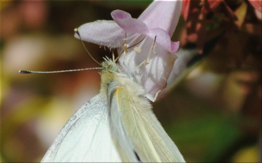 cabbage_moth1