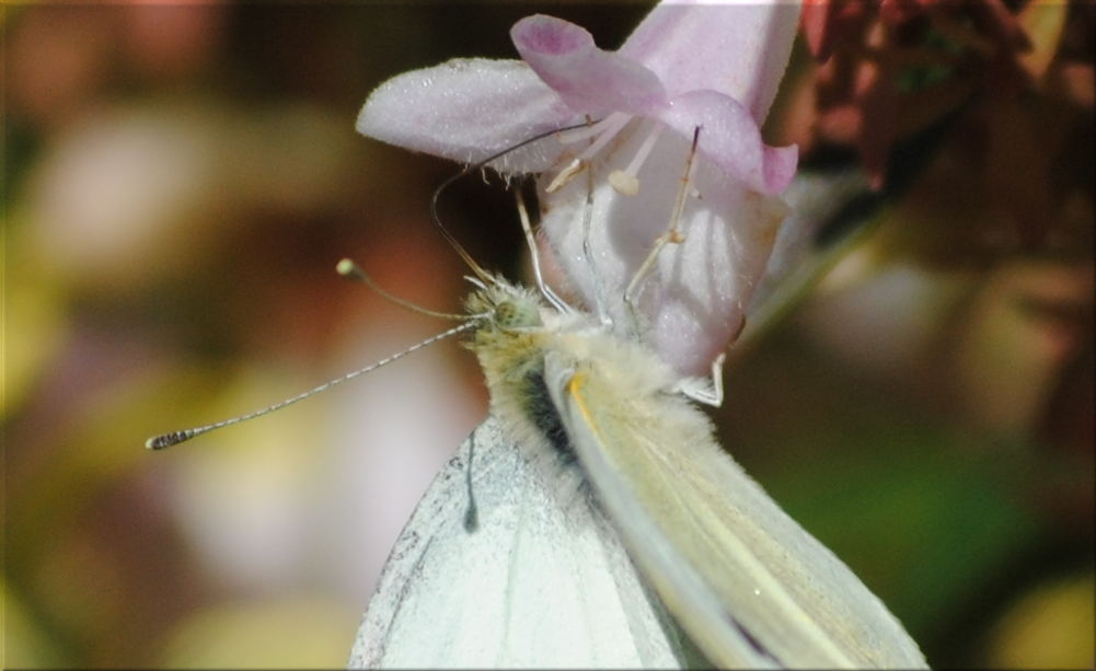 cabbage_moth2