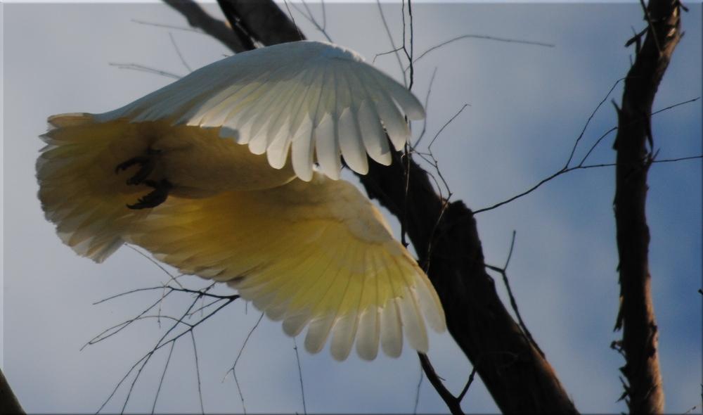 cockatoo_flying2