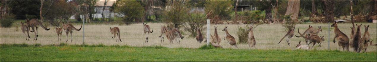 kangaroo_many