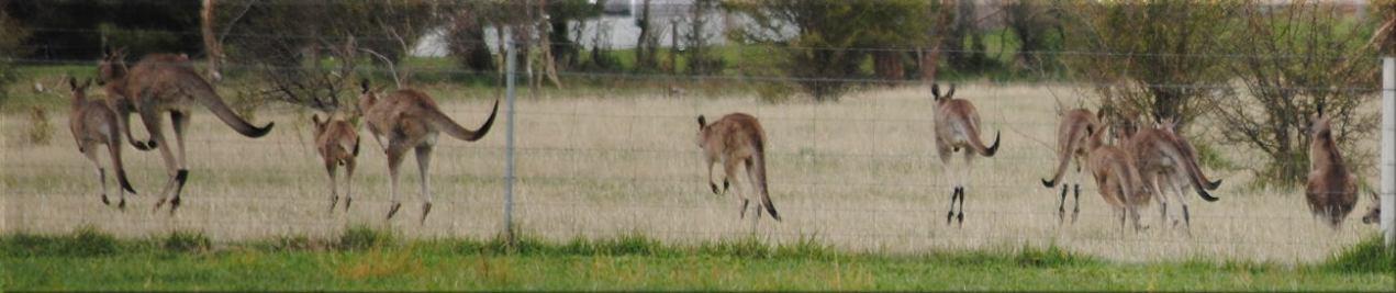 kangaroo_many1