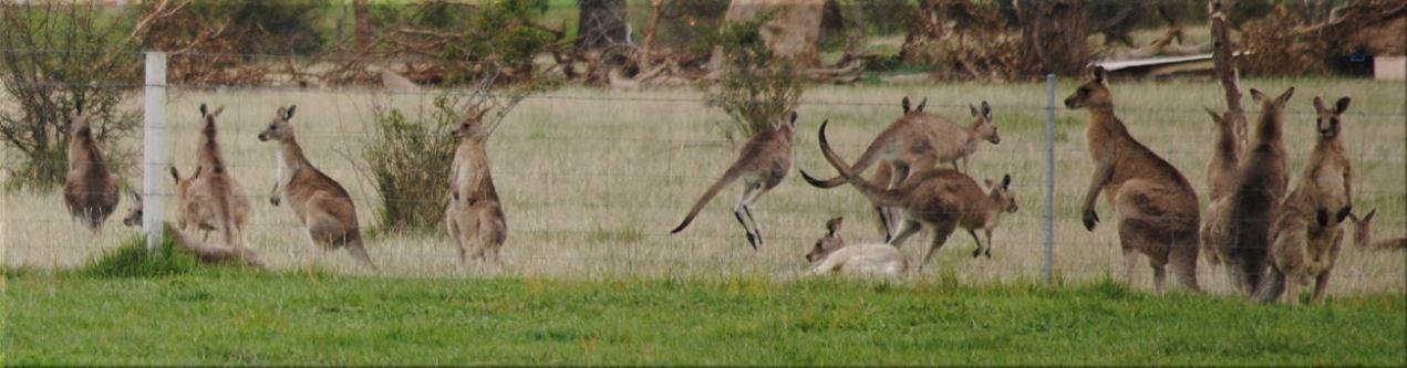 kangaroo_many2