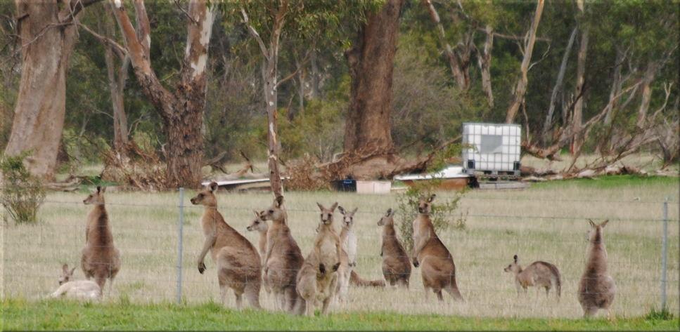 kangaroo_many3