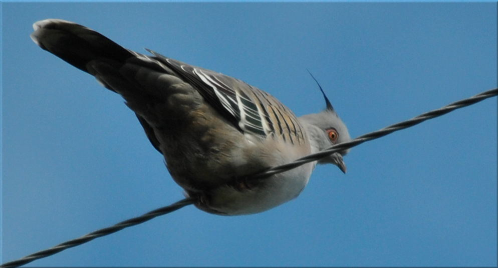crested_pigeon1