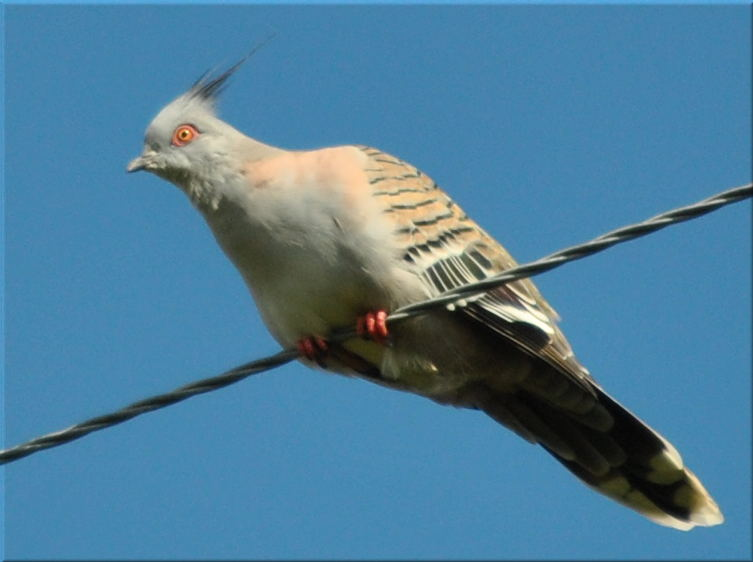 crested_pigeon2