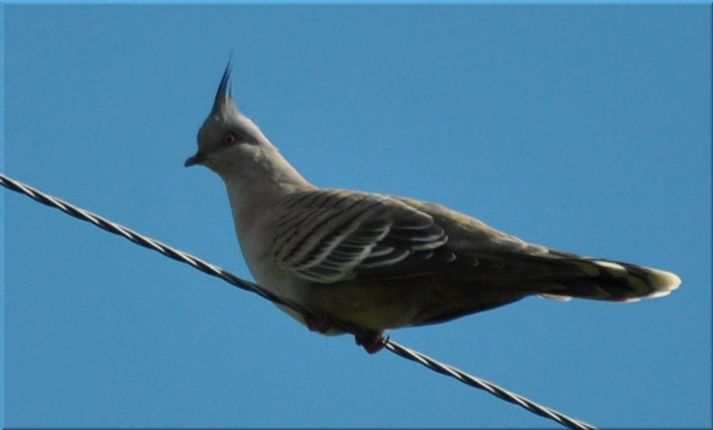 crested_pigeon4