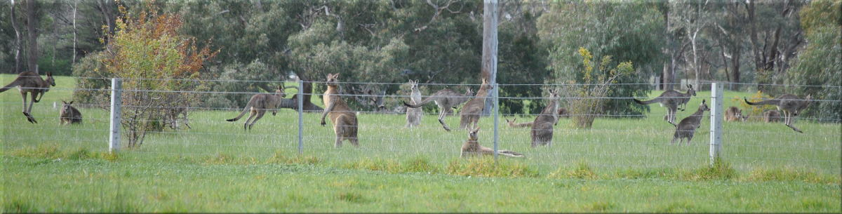 flighty_kangaroos2