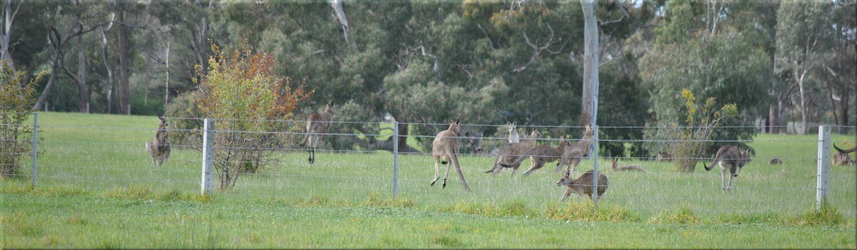 flighty_kangaroos3