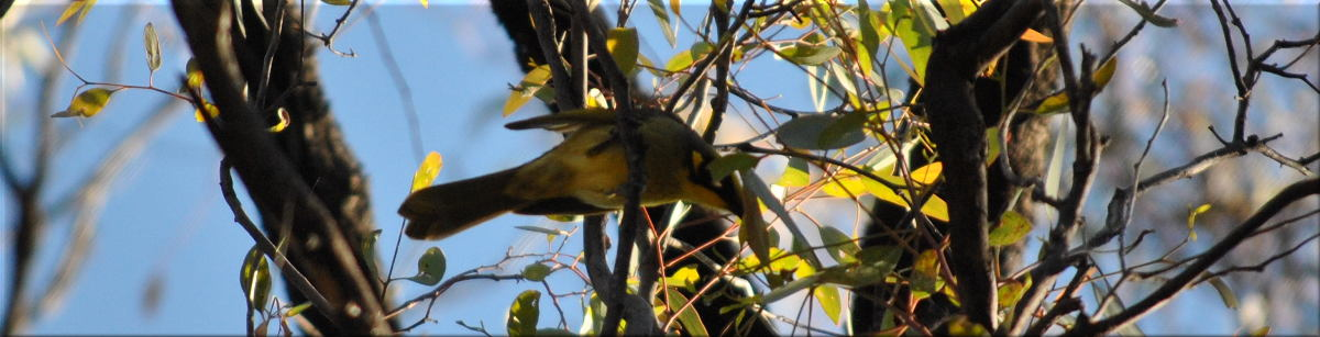 yellow_tufted_honeyeater