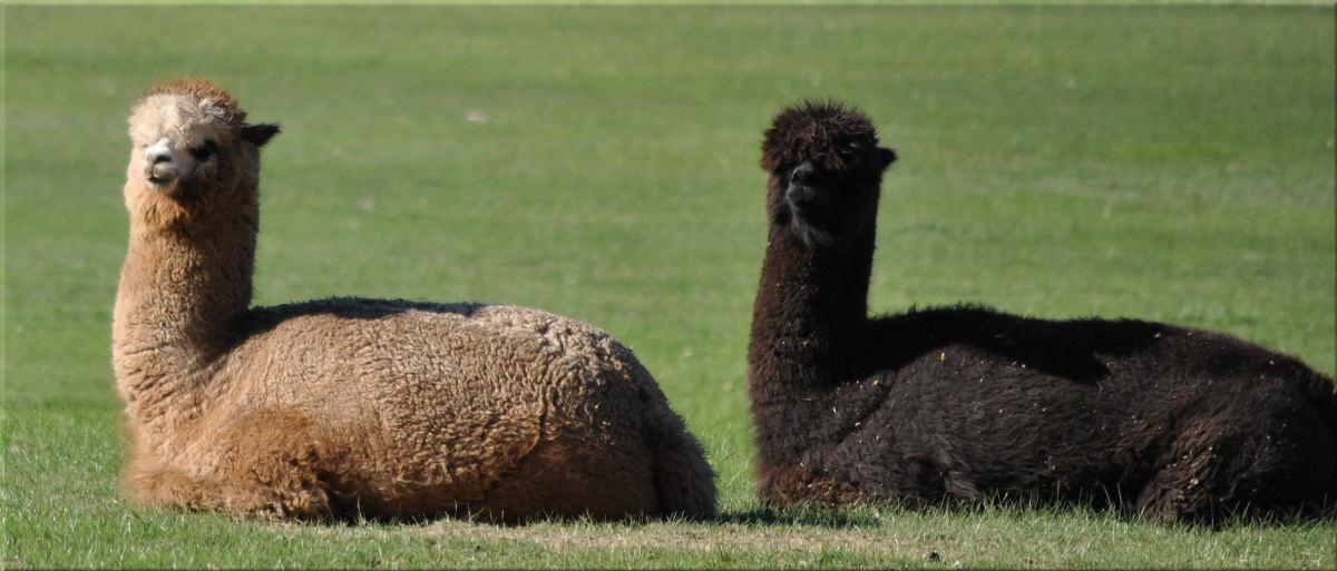 alpacas2