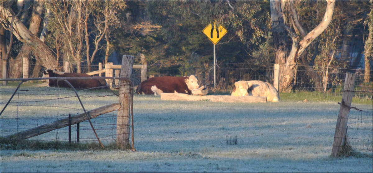 frosty_morn_cows